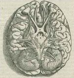 1543,AndreasVesalius&#39;Fabrica,BaseOfTheBrain