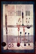 Cajal Retina