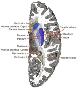 Telencephalon-Horiconatal