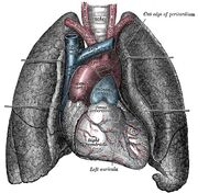 Heart-and-lungs