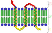 Transmembrane receptor