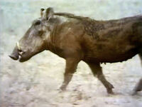 Warthogfilm