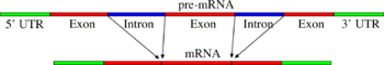 Pre-mRNA to mRNA