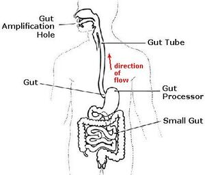 Gut, full diagram