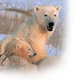 Churchill polar bear tours 2