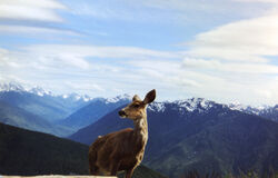Deer and Olympic Mountains