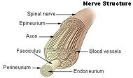 Illu nerve structure