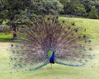 Peacock.displaying.better.800pix