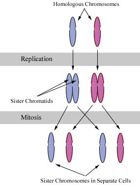 Chromosomes during mitosis