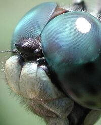 Dragonfly eye 3811