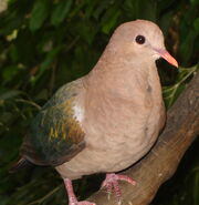 Emerald Dove
