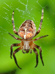 Araneus diadematus (aka)
