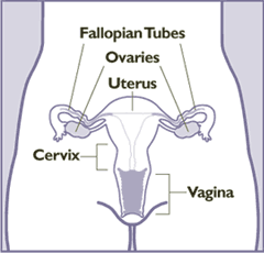 Female anatomy frontal