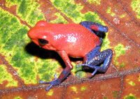 Dendrobates pumilio