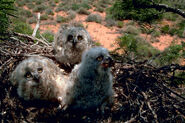 Great horned owl chick 3w