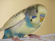 BlueandWhiteParakeet