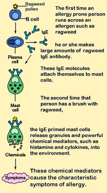 Mast cells