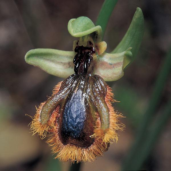 Ophrys speculum lusitanica.jpg
