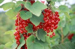 Currants