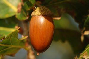 876406_acorn.jpg