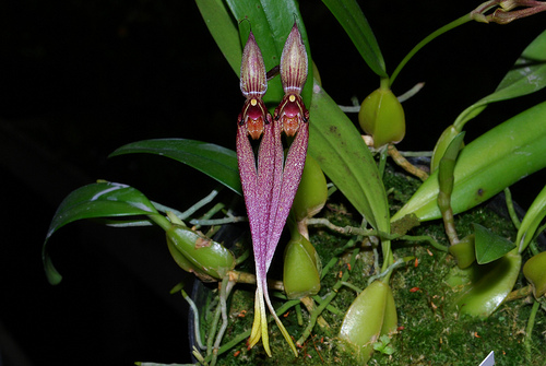 http://images1.wikia.nocookie.net/__cb20090615014236/orchids/en/images/9/9b/Bulbophyllum_biflorum.jpg