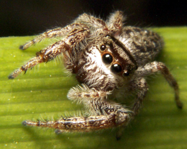 Jumpingspider2