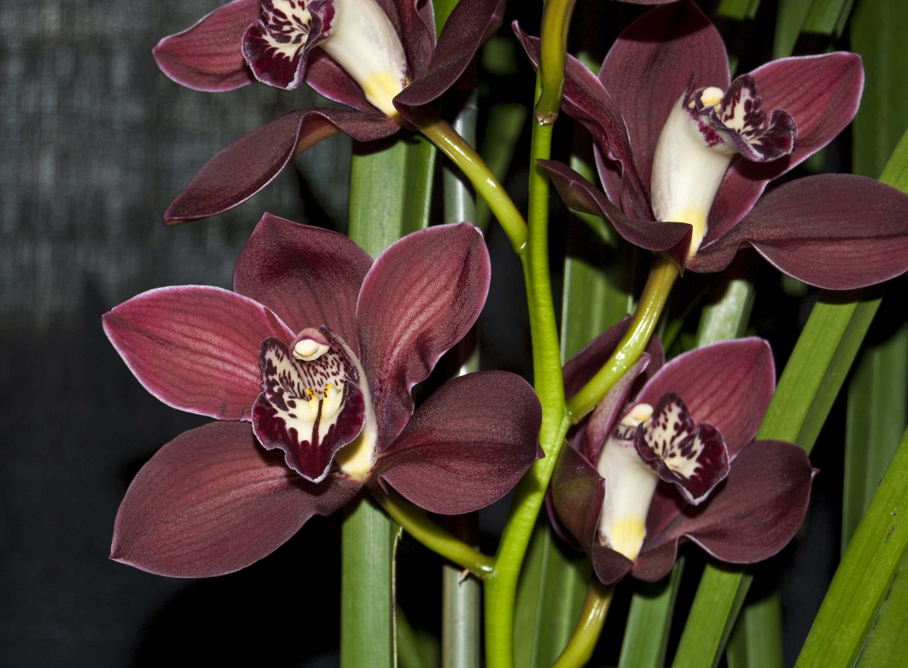 http://images1.wikia.nocookie.net/__cb20100307013437/orchids/en/images/9/98/Cymbidium_Ruby_Lips.jpg