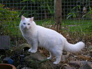 Turkish Van outdoors