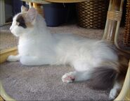 Tortie and White Turkish Van
