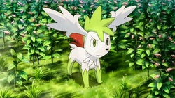 P11 Shaymin en el jardin Gracdea