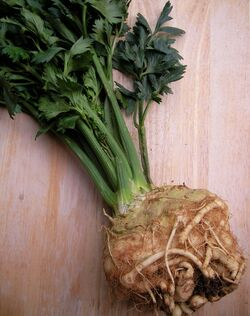 Celeriac-1-