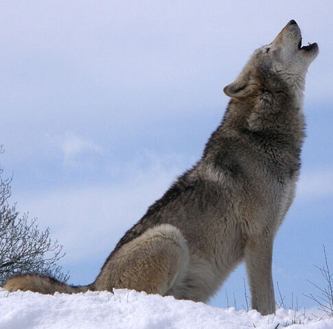 File:From Wikipedia- Dakota, a Grey Wolf - Public Domain, by Retron.jpg