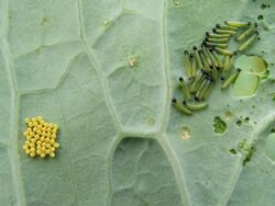 Cabbage white eggs and caterpillars on sea kale leaf