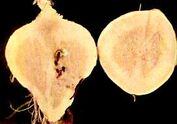 Swede Boron deficiency Root
