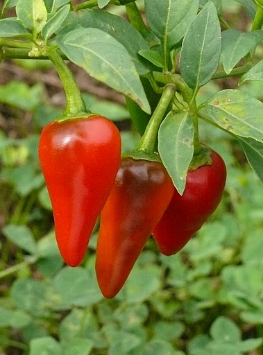 capsicum annuum 39 giant thai 39 wikigardener the