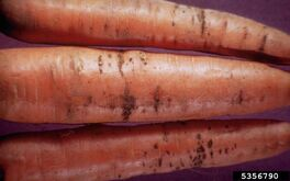 Carrot Bacterial streak Xanthomonas campestris pv. carotae