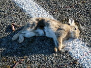 Rabbit roadkill