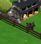 Black Pig on farm