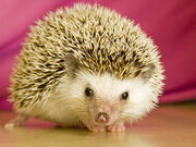 Sonic-hedgehog-ll-year-old-pet-laws-kansas