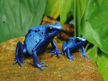 Blue Poison Dart Frogs Real