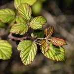 Blackberry Leaves.jpg