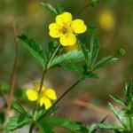 A healers herbs Tormentil