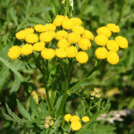 Herb Information Tansy