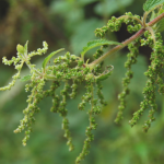 Herb Information Nettle_Seed
