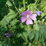 Herb Information Mallow_Leaves