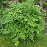 Chervil