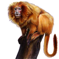 Huge item goldenliontamarin 01