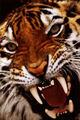 Bengal-tiger-close-up.jpg