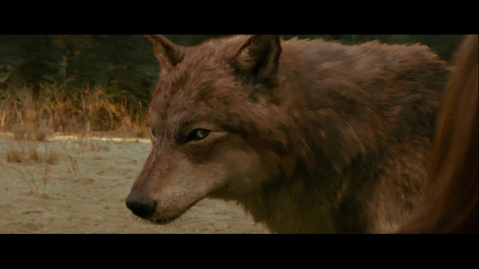 twilight jacob black wolf - photo #20