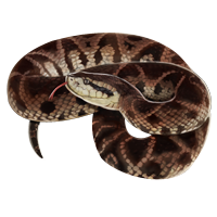 Huge item bothropsbrazili 01